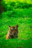 Ein männliches Tigerjunges anvisiert im Monsun, als Wald wie grüner Teppich bei Ranthambore Tiger Reserve ist stockbild