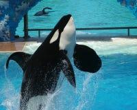 Ein Mörder-Wal-Brüche lizenzfreie stockbilder
