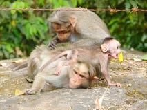 Ein Mützen-Makaken - indischer Affe - Familie mit Mutter, Vater und einem jungen aktiven boshaften Baby Stockbild