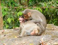 Ein Mützen-Makaken - indischer Affe - Familie mit Mutter, Vater und einem jungen Baby Stockbilder