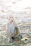 Ein Macacaaffe, der Banane auf dem Boden isst Lizenzfreies Stockfoto