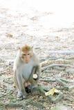 Ein Macacaaffe, der Banane auf dem Boden isst Stockfotos