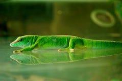 Ein MadagaskarGecko, der auf dem Glas haftet Stockfoto