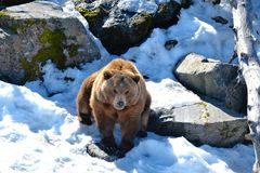 Ein magestic Grizzlybär Lizenzfreie Stockfotos