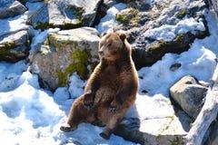 Ein magestic Grizzlybär Stockfotos