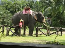 Ein Mahout mit Elefanten stockfoto
