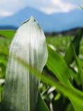 Ein Maisblatt. Stockbild