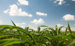 Ein Maisfeld Stockbild