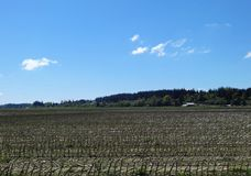 Ein Maisfeld im Vorfrühling Stockbilder