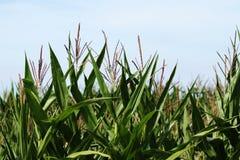 Ein Maisfeld zur Erntezeit Stockbild
