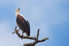 Ein majestätischer Fischadler, der auf einer Stange oben sucht im Himmel nach h sitzt Stockbilder
