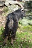 Ein majestätischer Geißbock mit langem Pelz und Hörnern Stockbild