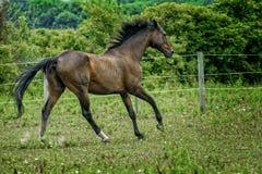 Ein majestätisches Hengst-Pferd, das in eine Weide läuft Stockbild