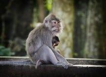 Ein Makaken-Affe mit ihrem Baby. Stockbild