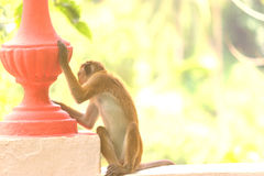 Ein Makaken sitzt bei Sonnenuntergang Lizenzfreies Stockfoto