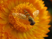 Kleine Honigbiene, die weg fliegt Lizenzfreie Stockbilder