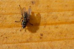 Ein Makro einer Fliege Stockfotos