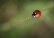 Ein Makro eines Marienkäfers Stockbild