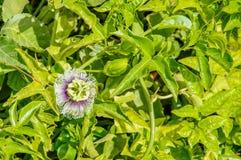 Ein Makroschuß der schönen offenen Blume auf grünem Hintergrund Stockfotografie