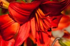 Ein Makroschuß des Inneres der roten Lilie Lizenzfreies Stockfoto