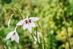 Ein Makroschuß einer weißen abyssinischen Gladiole blühen, acidanthera Lizenzfreie Stockfotografie