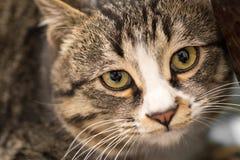 Ein Makroschuß eines jungen ` s Katze der getigerten Katze Gesichtes Lizenzfreie Stockfotos