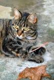 Ein Makroschuß eines jungen ` s Katze der getigerten Katze Gesichtes Stockbilder