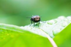Ein Makroschuß des nassen Blattes mit einer Fliege auf ihr Stockfotos