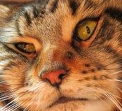 Ein Makroschusskatze ` s Gesicht Stockfoto