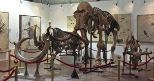 Ein Mammutskelett an Fossilien u. an Mineralien GeoDecor Stockbild