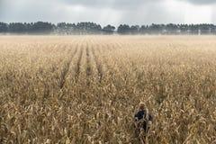 Ein Mann, der allein auf einem Gebiet von Mais steht Lizenzfreie Stockbilder