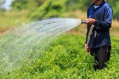 Ein Mann, der die junge Paprikaanlage im Bauernhof wässert Stockbild