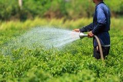 Ein Mann, der die junge Paprikaanlage im Bauernhof wässert Lizenzfreies Stockbild