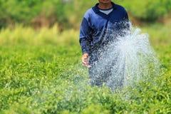 Ein Mann, der die junge Paprikaanlage im Bauernhof wässert Lizenzfreies Stockfoto