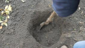 Ein Mann, der einen Haselnussbaum pflanzt Landwirt gräbt eine Grube stock video