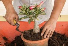 Ein Mann, der rotes Adenium obesum pflanzt Stockbilder