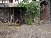 Ein Mann, der seine Haustiere in den Tropen einzieht stock footage