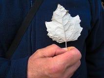 Ein Mann hält ein Blatt des weißen Ahorns im Bereich des Herzens stockfoto