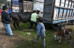 Ein Mann lädt eine Kuh auf seinen LKW, während ein Junge, der ein Kalb hält, an dem Tiermarkt Otavolo in Ecuador betrachtet Stockfotografie