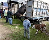 Ein Mann lädt eine Kuh auf seinen LKW, während ein Junge, der ein Kalb hält, an dem Tiermarkt Otavolo in Ecuador betrachtet Stockfoto
