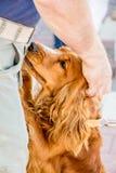 Ein Mann streichelt seinen geliebten Hund Hund cocker spaniel nahe seinem Mast lizenzfreie stockfotografie