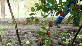 Ein Mann trägt einen Gartenwarenkorb mit dem Düngemittel für Transport um den Garten und befruchtet den Boden stock video footage