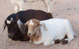 Ein Mann und eine weibliche Ziege stockbilder