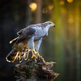 Ein Mannhühnerhabicht Accipiter gentilis, die auf dem Stumpf im Wald sitzen Stockbilder