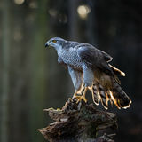 Ein Mannhühnerhabicht Accipiter gentilis, die auf dem Stumpf im Wald sitzen Stockfoto