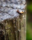 Ein Marienkäfer auf einem treestump lizenzfreies stockbild