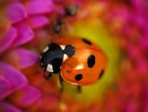 Ein Marienkäfer auf einer Blume Stockfoto