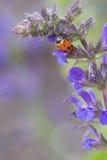 Ein Marienkäfer auf einer schönen hellen purpurroten Blume Stockfotografie