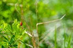 Ein Marienkäfer, der auf dem Blatt sitzt Lizenzfreie Stockfotografie
