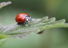 Ein Marienkäfer und Blattlaus mit sieben Stellen Lizenzfreie Stockfotografie